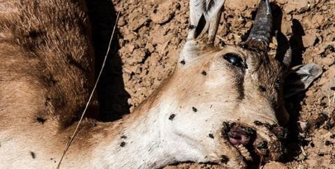 تهدید طاعون نشخوارکنندگان علیه حیات وحش کشور